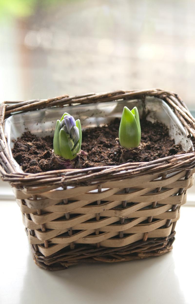hyacinth_72