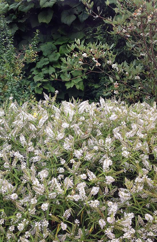 rosemoor 16, whites_72